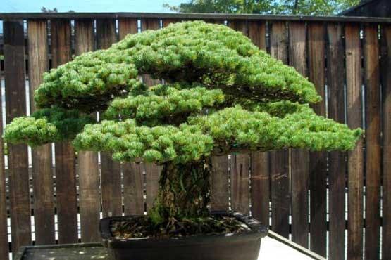 درختی که با انفجار اتمی هم نابود نشد!